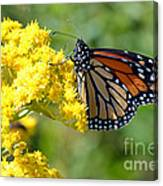 Monarch Resting Canvas Print