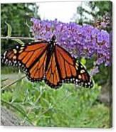 Monarch Under Flowers Canvas Print