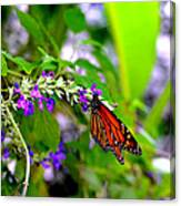 Monarch With Sweet Nectar Canvas Print