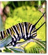 Monarch's Caterpillar.nz Canvas Print