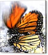 Monarchs In Love Canvas Print