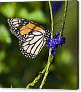 Monark Butterfly No.1 Canvas Print