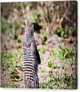 Mongoose Standing. Safari In Serengeti Canvas Print