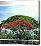 Monkey Pod Trees - Kona Hawaii Canvas Print