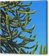 Monkey Puzzle Tree Canvas Print