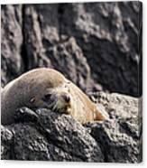 Montague Island Seal Canvas Print
