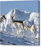 Montana Pronghorn Canvas Print