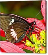 Montezuma Cattleheart Butterfly Canvas Print