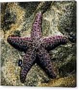 Moody Starfish IIi Canvas Print