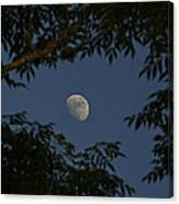 Moon Among The Branches Canvas Print