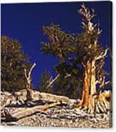 Moon And Bristlecone Pines Canvas Print