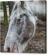 Moon Eyed Horse Canvas Print