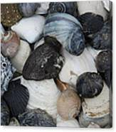 Moon Snails And Shells Still Life Canvas Print