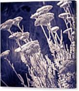 Moonlight Yarrow Canvas Print