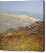 Moorland Sheep Canvas Print
