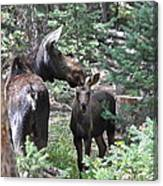 Moose And Her Calf Canvas Print