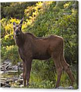Moose Baby Sniffing Morning Air Canvas Print