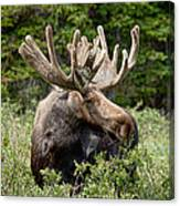 Moose Be Too Cool Canvas Print