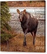 Moose Calf Canvas Print