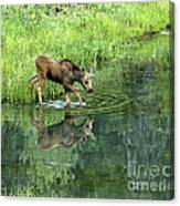 Moose Calf Testing The Water Canvas Print