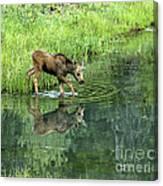 Moose Calf Testing The Water Canvas Print