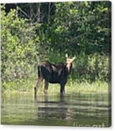 New Hampshire Grazing Cow Moose  Canvas Print