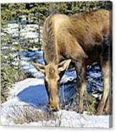 Moose Connection Canvas Print