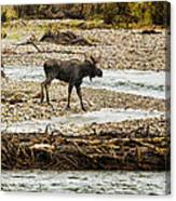 Moose Crossing River No. 1 - Grand Tetons Canvas Print