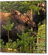 Moose Family At The Shredded Pine Canvas Print