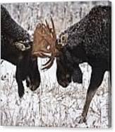 Moose Fighting, Gaspesie National Park Canvas Print