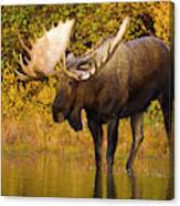 Moose In Glacial Kettle Pond  Canvas Print