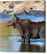 Moose On The  Gros Ventre River Canvas Print