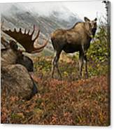 Moose Pair On Anchorage Hillside Canvas Print