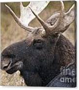 Moose Pictures 101 Canvas Print