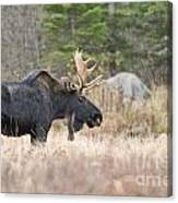 Moose Pictures 75 Canvas Print