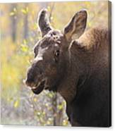 Moose Who Lost His Mother Canvas Print