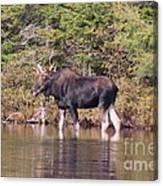 Moose_0591b Canvas Print