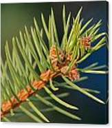 More Spruce Buds Canvas Print