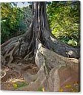 Moreton Bay Fig Tree From Jurrasic Park Canvas Print