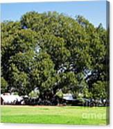 Moreton Fig Tree In Santa Barbara Canvas Print