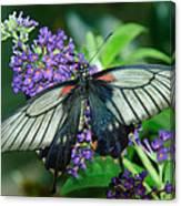 Mormon Butterfly Canvas Print