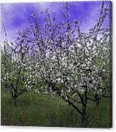 Morning Apple Blooms Canvas Print