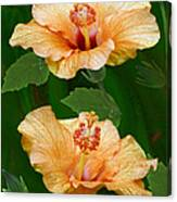 Morning Blooms - Hibiscus Canvas Print