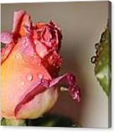 Morning Dew Drops Canvas Print