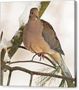 Morning Dove Canvas Print