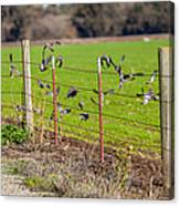Morning Doves In December  Canvas Print