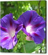 Morning Glory Couple Or 2 Purple Ipomeas Canvas Print