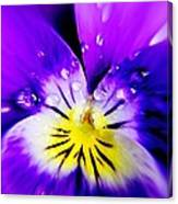Morning Pansy Canvas Print