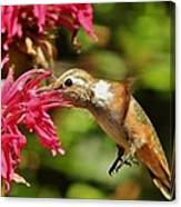 Morning Rufous Canvas Print