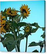 Morning Sunflowers Canvas Print